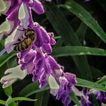 Bee on Velvety Mexican Bush Sage thumbnail