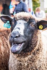 Tongue in Sheep (Fairy_Nuff (new website - piczology.com!)) Tags: sheep fair masham tongue baa wool