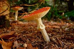 Toadstool (sigiha1953) Tags: fliegenpilz toadstool natur nature wald forest