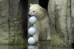 Polar Bear TODZ (K.Verhulst) Tags: polarbears polarbear ijsberen ijsbeer beren bears blijdorp blijdorpzoo diergaardeblijdorp rotterdam bear