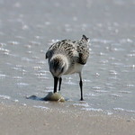 Sanderling dining on the beach - Robert Moses, NY thumbnail
