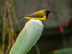 20170919-EM121940 (shutterblades) Tags: birds gardensbythebay olivebackedsunbird olympusem1mkii olympusmzuiko300mmf4pro14tc