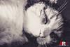 Sweet Dreams (are made of this) (Michele Rallo | MR PhotoArt) Tags: gatto gatta gatti cats cat animal pet pets animali animale gattini gattina michelerallomichelerallomrphotoartemmerrephotoartphotopho