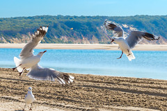 Mine Mine Mine (Allieca Paterson) Tags: allieca australia queensland rainbowbeach beach bird seagulls nemo hangry ocean seaside