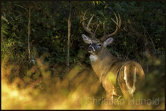 The Boss (Christian Hunold) Tags: whitetaileddeer whitetailedbuck maturebuck deer buck mammal weiswedelhirsch deerrut valleyforge pennsylvania christianhunold