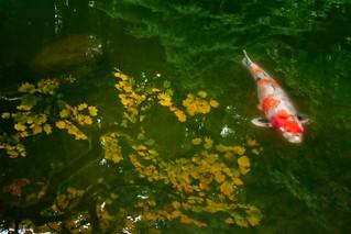 Autumn Koi Pond 6981 D