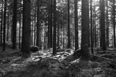 Mod vest ... (holtelars) Tags: asahi pentax spotmatic spotmaticii smctakumar takumar 55mm f18 film 35mm analog analogue ilford fp4 ilfordfp4 100iso xtol bw blackandwhite monochrome filmphotography filmforever ishootfilm larsholte homeprocessing öxabäck firs wood trees sweden sverige