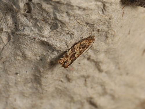 Olethreutinae sp.