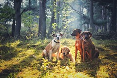 good company (Jutta Bauer) Tags: forest autumn morning morninglight boxermix goldenretriever rhodesianridgeback friends company together dogs dog