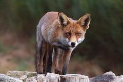 Mirada raposa (chuscordeiro) Tags: raposo zorro fox animal fauna naturaleza nature lugo galicia mirada posadero canon1dxmarkii sigma150600 airelibre color