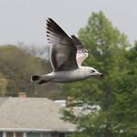 Seagull - Bayard Cutting thumbnail
