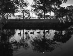 Happy Ducks (BW Fine Art) Tags: ducks charles river esplanade leica rangefinder monochrome blackandwhite noiretblanche bw highiso summiluxm11435asph boston cambridge ma massachusetts usa fineart lonelynight simple