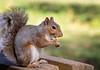 Scoiattolo (Christian Papagni | Photography) Tags: legnano lombardia italia it canon eos 7d mark ii ef100mm f28l macro is usm scoiattolo squirrel bosco castello parco