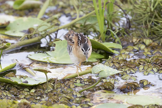 Hapalocrex flaviventer / Yellow-breasted Crake