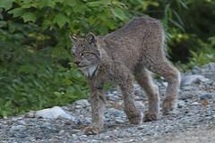 Lynx du Canada / Lynx canadensis / Canada Lynx (Laval Roy) Tags: québec abitibi atlasdesoiseauxnicheursduquébec forêtboréale lynxducanada lynxcanadensis canadalynx mammifères félidés eos7d canon ef300mm14lisextender14xiii mammals lavalroy