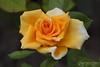 Nevena Uzurov - Rose (Nevena Uzurov) Tags: rose goldenmonica tea petals garden nature yellow love romantic fragrant nevenauzurov serbia