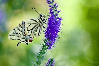 Schwalbi - Swallowtail