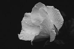 Day 3 of 7 Black & White Photo challenge (lit t) Tags: canon60d terridoaktaylor blackandwhite roseofsharon flower singleflower bw macro 50mm waterdroplets raindrops petals