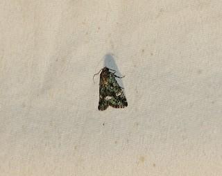 Lithacodia musta, Small Mossy Lithacodia Moth