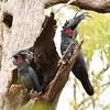 wild Palm Cockatoo pair, Cape York, Queensland, Australia. (CNZdenek) Tags: proboscigeraterrimus probosciger cockatoo palmcockatoo australianbird australianwildlife