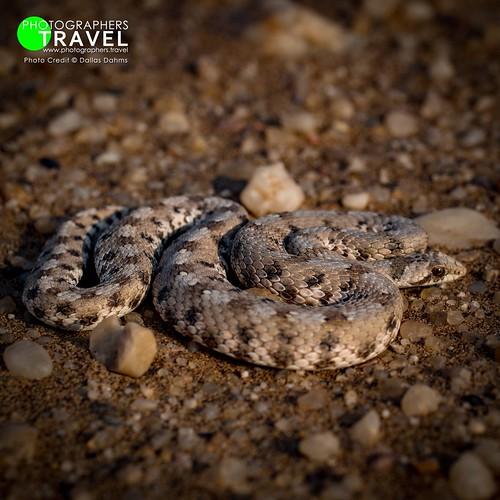 Desert snake - Namibia 2013