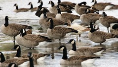 One of a kind! (Jeannine St. Amour) Tags: goose canadagoose leucistic nature wildlife