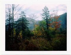 (babireley) Tags: polaroid250 fujifilmfp100c pawilds pottercounty pa pottercountypa pinetree fall