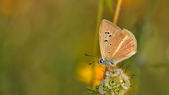 Polyommatus (Agrodiaetus) menalcas (KOMSIS) Tags: kelebek butterfly schmetterlinge papillon farfalla mariposa borboleta leptir vlinder πεταλούδα فراشة пеперутка פרפר ქელებეკი پروانه лептир तितली လိပ်ပြာ թիթեռ bábochka бабочки conbướm dagfjärilar féileacán fluture fiðrildi fjärilar kəpənək көбелек kupukupu матылёк motyl motýlů motýlech motýl motýľ metulj päiväperhonen perhonen pillangó flutur প্রজাপতি sommerfugl liblikas fjäril バタフライ 나비 animal animalia arthropoda lepidoptera lycaenidae polyommatus polyommatusmenalcas turkishfurryblue çokgözlüanadolubeyazıkelebeği macrophotography nature wildlife outdoor greeny nikond800e sigma150mmos plant texture macro flower insect papallona 蝴蝶