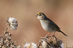 Golden-crowned Sparrow 1633