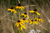 McCargoe Cove Black-Eyed Susans (dcclark) Tags: irnp isleroyale nationalpark blackeyedsusan wildflower mccargoe nature
