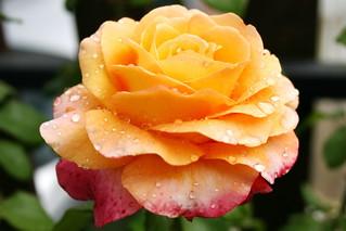 Rose orangée de l'Auvergne, France