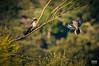 Críalo europeo (Clamator glandarius. Linnaeus, 1758). Alcaudón real o alcaudón sureño (Lanius meridionalis. Temminck, 1820). (EcoFoco juanma.coria) Tags: aves alcaudónreal cilleros españa extremadura fauna naturaleza primavera sierradegata vuelo laniusmeridionalistemminck 1820 alcaudónsureño críaloeuropeoclamatorglandariuslinnaeus1758 sierrasantaolalla