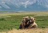 Cubs Playing II   (DROH) (cheryl strahl) Tags: alaska katmainationalparkandpreserve grizzlybears cubs playing playful tundra mountains sierraclubdailyrayofhope droh dailyrayofhope