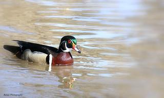Wood Duck- Carolina duck