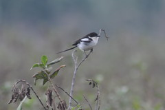 Northern Fiscal (bartscott35) Tags: bird africa lifer ruhondo laniidae shrike