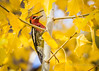 Red-breasted Sapsucker (cbjphoto) Tags: bird avian sapsucker photography redbreasted carljackson