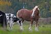 Vivre en harmonie (Jacques Sauvé) Tags: horse cheval cheveaux vaches harmony harmonie caballo vaca saintignacedeloyola québec canada saintignace loyola saint ignace ferne animal farmanimaux grazing