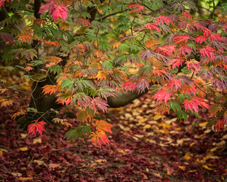Harcourt Acer