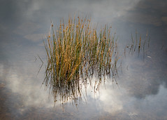 Rushes and Reeds. (DP the snapper) Tags: water alcocktarn reflections reeds clouds
