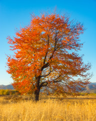 Golden Tree (WhiteShipDesign) Tags: autumn nature fall landscape tree natural outdoor season yellow golden orange foliage sky environment sun scenery scene light sunset october rural sunlight country color bright vivid goldenleafs countryside