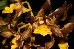 Cepobaculum trilamellatum (andreas lambrianides) Tags: cepobaculumtrilamellatum orchidaceae dendrobiumtrilamellatum largeteatreeorchid australianflora australiannativeplants australianrainforests australianrainforestplants australianorchids australianrainforestorchids brownflowers yellowflowers arfp qldrfp ntrfp arfflowers lithophyte epiphyte