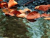 2017-10-20 Villers-Campeau morning (27)dead leaves (april-mo) Tags: deadleaves puddle water reflection autumn wilted