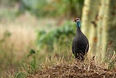Ground Control to Major Tom (zimbart) Tags: africa mozambique gorongosanationalpark fauna vertebrata aves birds numida numidameleagris numididae galliformes