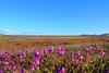 Hierro y Flores (Train'shadow) Tags: trenes tren train trains ferrocarril ferronor norte desierto atacama florido flores flowers arido colorados compañia acero pacifico vallenar huasco hierro