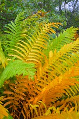 Ferns Changing to Fall Colors (esywlkr) Tags: fall autumn ferns nature acadianationalpark maine anp