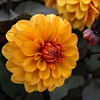 Dahlie  (17) (berndtolksdorf1) Tags: dahlien blumen flowers pflanzen plants blüten blossoms gelb yellow