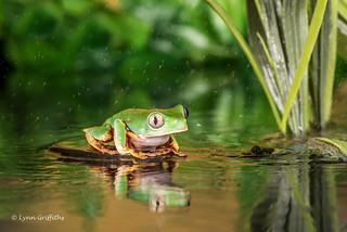 Shower time - Super Tiger Legged Waxy Monkey Leaf Frog D75_7248.jpg
