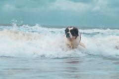 galli-cadzand41ps (cdandrifosse) Tags: galli saint bernard mer cadzand chien