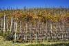 I colori dell'autunno.Langhe.( CN ) Piemonte (freguggin2010) Tags: nikon natura foglie alberi viti panorami