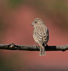 Circle Check (Slow Turning) Tags: haemorhousmexicanus housefinch female bird perched back tree branch stick background autumn southernontario